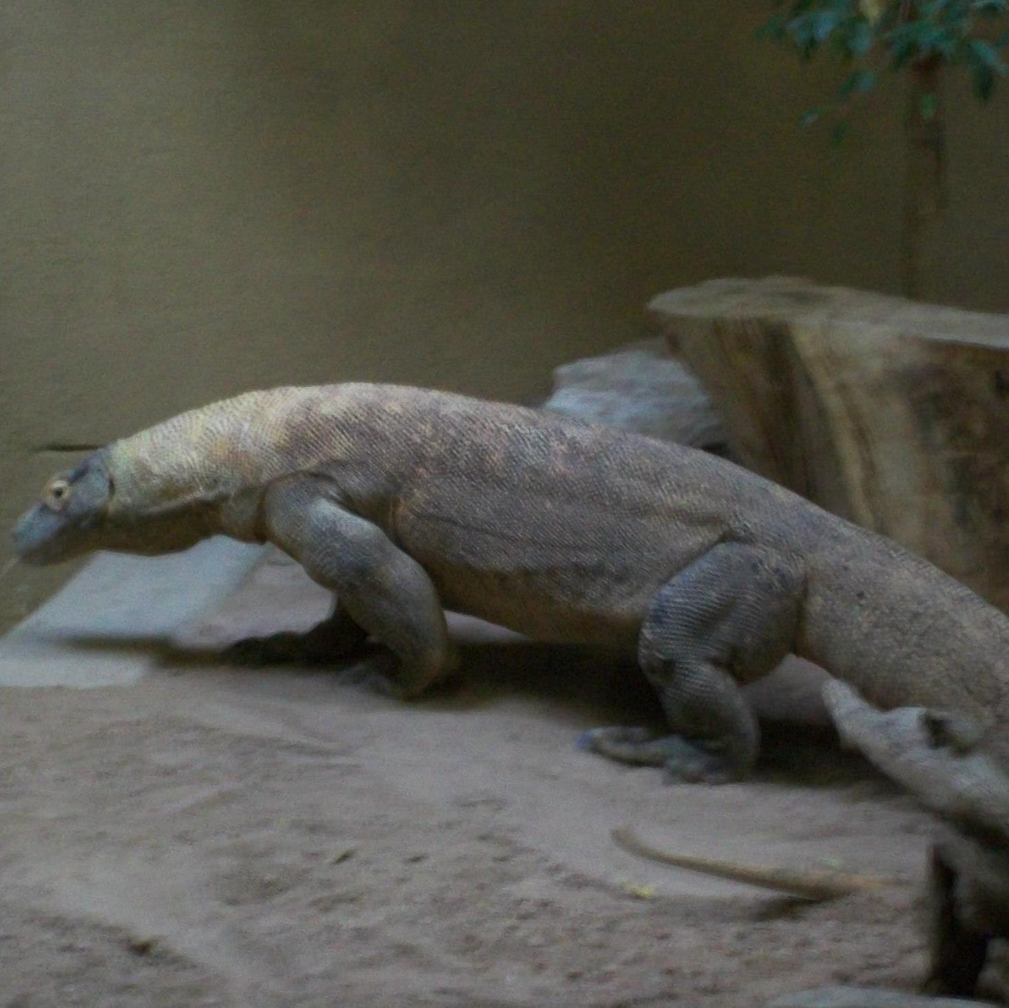 KomodoDragon201 photo