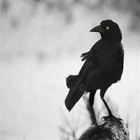 ShadowCrow photo