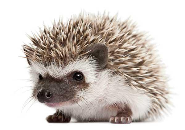 hedgie photo